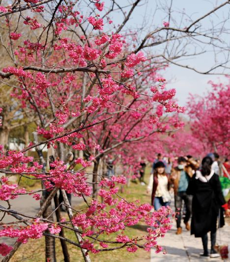 Tourist coming from Afar Continuously View Cherry Blossoms.